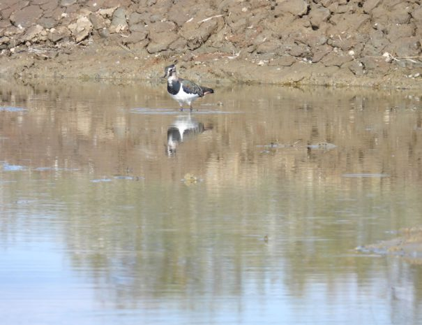 Avefria Northern lapwing Wilextours-min