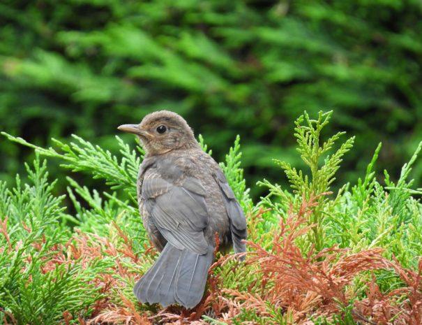 Black-bird-chick-pollo-de-Mirlo-común-Wilextours