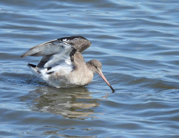 Black-tailed-godwit-Agula-colinegra-Wilextours