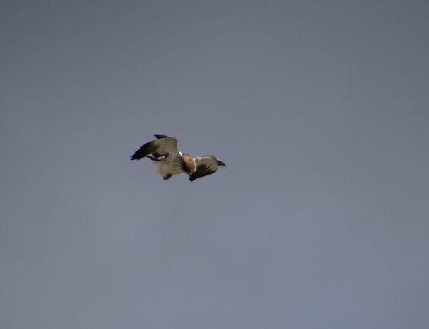 Booted eagle Águila calzada Wilextours-min