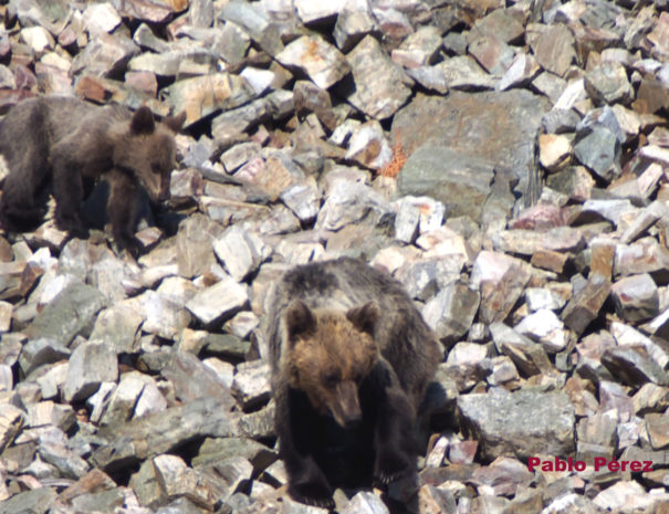 Brown-bear-female-and-cub-Madre-y-cría-Oso-Wilextours