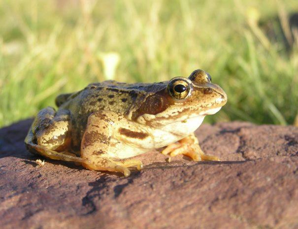 Common frog Rana bermeja Wilextours-min