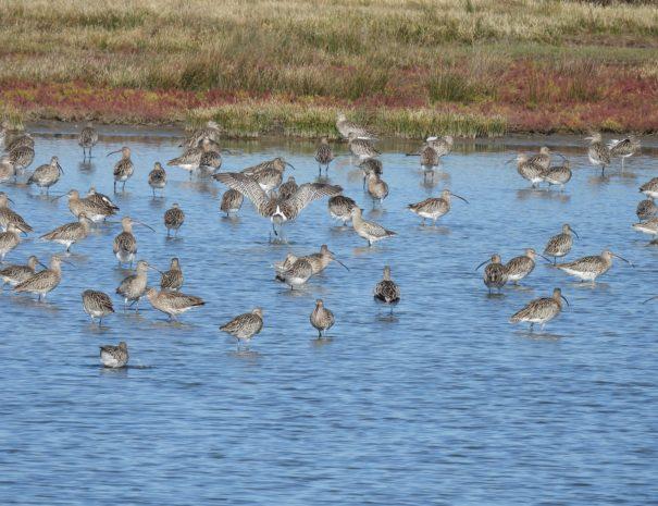 Curlew flock Zarapitos reales Wilextours-min