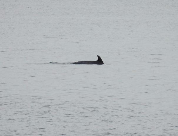 Delfin mular bottlenose dolphin Wilextours-min