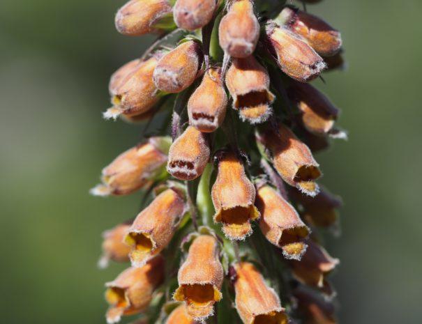 Digitalis parviflora