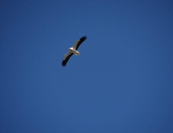 Egyptian vulture Alimoche Wilextours-min