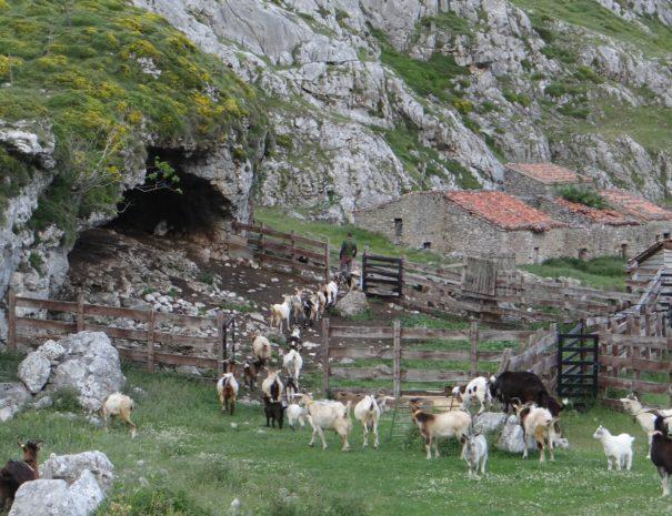 Goats Vega del Toro Picos Wilextours-min