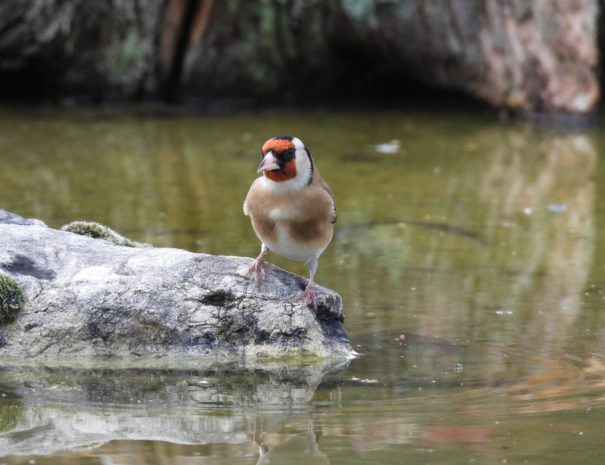 Goldfinch-Jilguero-Wilextours