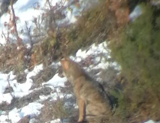 Iberian Wolf Lobo Iberico Wilextours