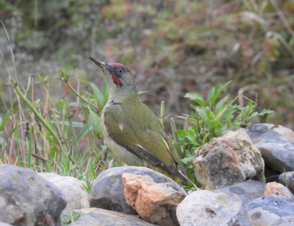 Iberian-green-woodpeacker-Pito-real-Wilextours