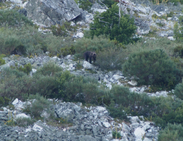 Inmature-Brown-bear-Oso-pardo-joven-Wilextours