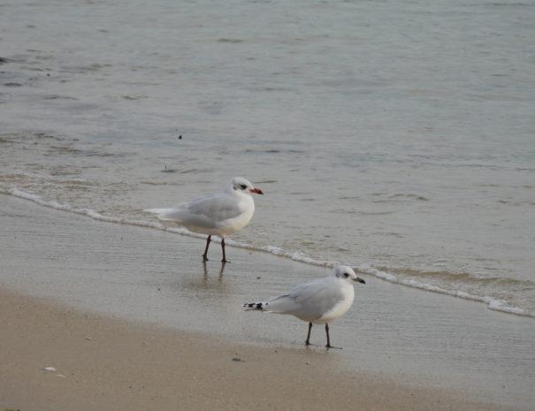 Mediterranean-gull-Gaviota-Cabecinegra--Wilextours
