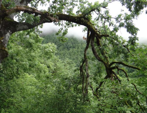 Oak woods bosques de Robles Liebana Wilextours