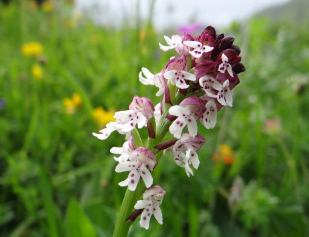 Orchis-ustulata-Wilextours