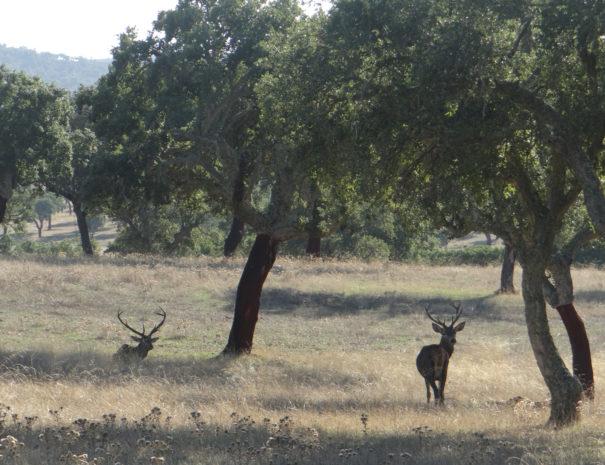Red-deer-and-cork-tree-Ciervo-y-Alcornoque-Wilextours