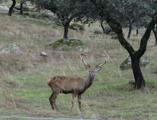 Reed-deer-Ciervo-rojo-Wilextours