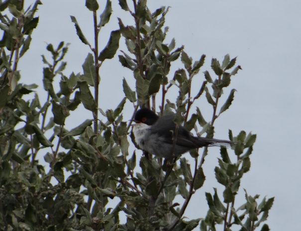 Sardinian-warbler-Curruca-cabecinegra-Wilextours
