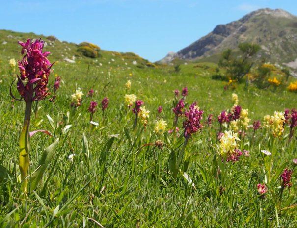 Somiedo-orchid-Wilextours