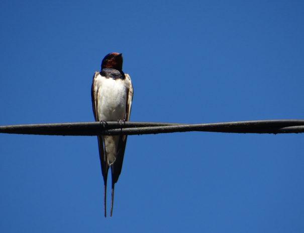 Swallow-Golondrina-Wilextours