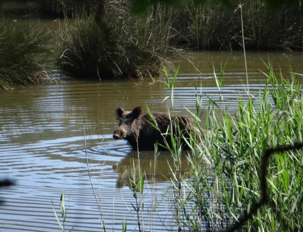 Wild-boar-Javali-Wilextours