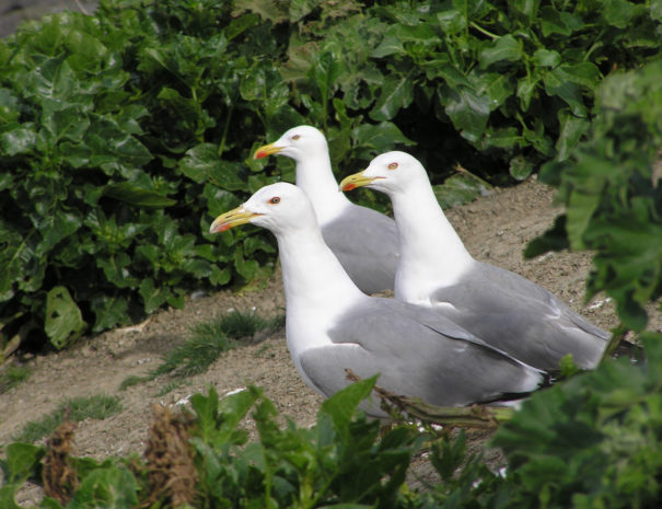 Yellow-leg-seagull-Gaviota-patiamarilla-Wilextours