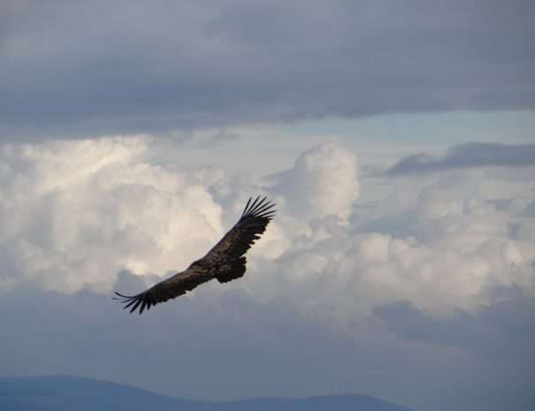 flying griffon vulture Buitre leonado Wilextours-min