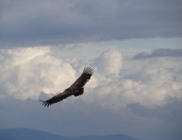 flying griffon