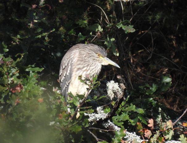 juvenile-night-heron-joven-Martinete-Wilextours
