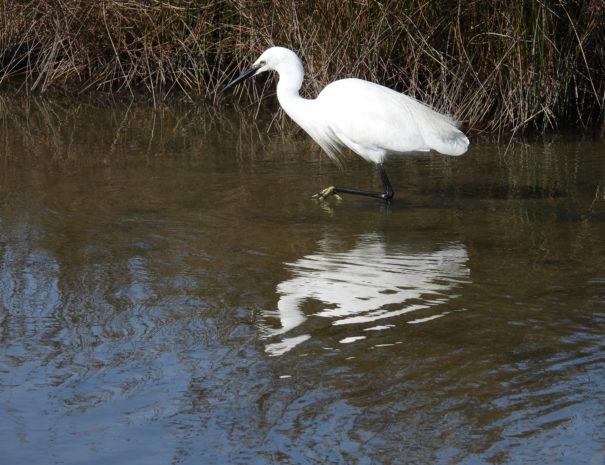 little-egret-Garceta-Wilextours