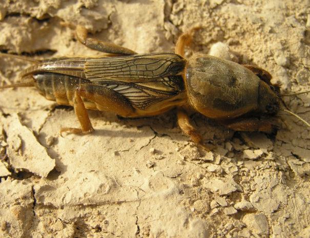 mole-cricket-Grillotopo-Wilextours
