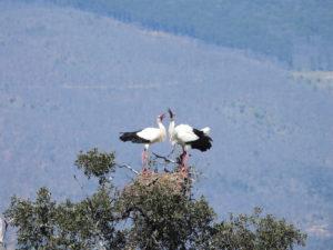 Ciguenas blancas
